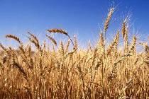 экспорт зерна