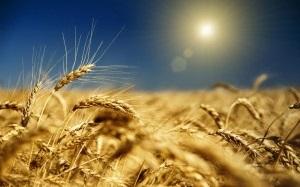 урожай зерна в Украине