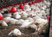 Беларусь вводит ограничения на поставки птицы из Украины
