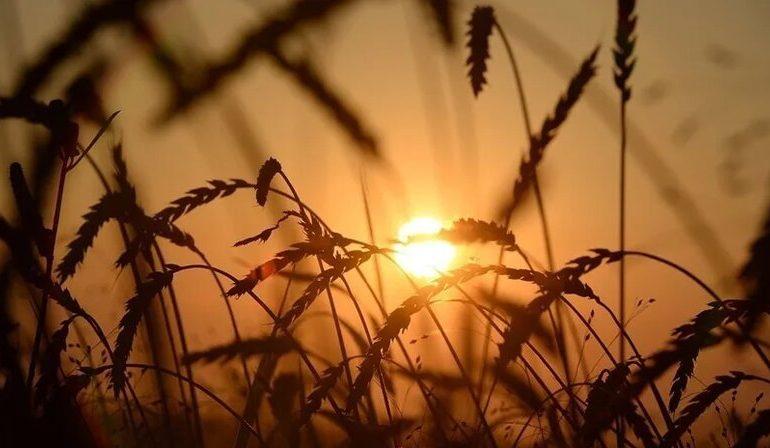 Сбор зерна в России в 2021 году спрогнозировали в 131 млн т